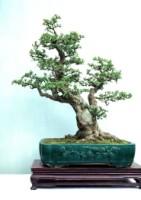 Carmona microphylla(Fukien Tea)